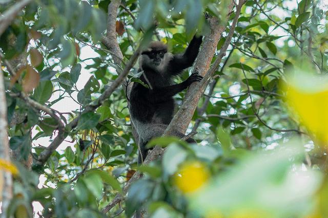 Berberaffee-Sri-Lanka